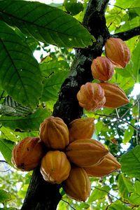 Cacao Bean Pods
