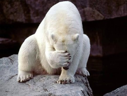 A polar bear facepalming